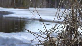 Droog gras op de rivier in de lente stock video