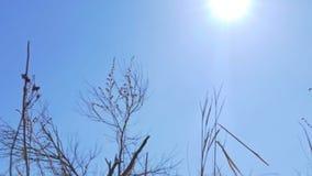 Droog gras op een achtergrond van blauwe hemelbeweging stock videobeelden
