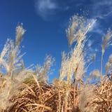 Droog gras op gebied onder blauwe hemel Royalty-vrije Stock Foto's