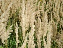Droog gras op het gebied - achtergrond Royalty-vrije Stock Afbeelding