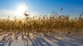Droog gras op het gebied in de sneeuw stock footage