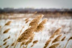Droog gras op sneeuwachtergrond Royalty-vrije Stock Foto's