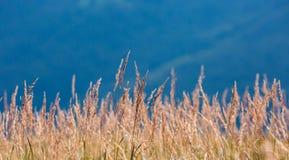 Droog gras op weide Stock Afbeelding