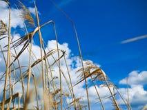 Droog gras over blauwe hemel stock afbeelding