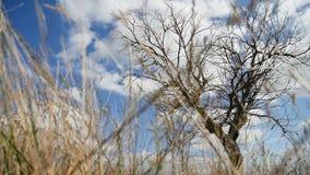 Droog grasgebied eenzaam op het gebied op boom een achtergrond van de blauwe aard van de hemelherfst stock video