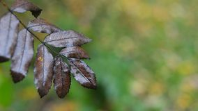 Droog lijsterbessenblad in de herfst stock videobeelden