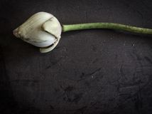 Droog Lotus Stock Fotografie
