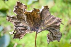 Droog lotusbloemblad in de vijver Stock Fotografie