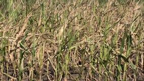 Droog maïsgebied in de zomer stock video