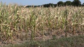 Droog maïsgebied in de zomer stock footage
