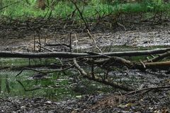 Droog moeras met de oude zwarte takken van de kleurenboom met mos liggend o stock afbeeldingen