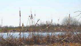 Droog moerasgras Rijpe droge cattail op het meer stock video