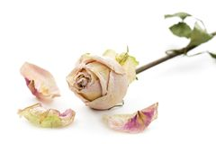 Droog nam met bloemblaadjes toe stock afbeeldingen