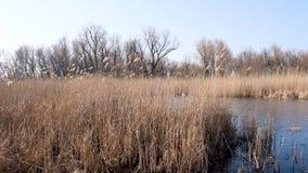 Droog riet in de Oekraïense moerassen stock video