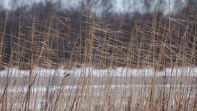 Droog riet in de winter stock video