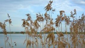 Droog riet die in de wind op een bewolkte dag door de rivier slingeren stock footage