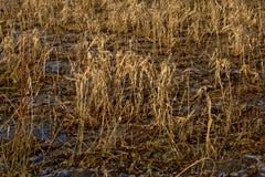 Droog riet in een bevroren moeras stock afbeeldingen