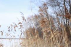 Droog riet op een de winterochtend stock afbeeldingen