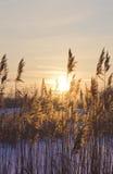 Droog riet op een zonsondergang. Royalty-vrije Stock Afbeelding