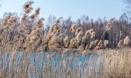 Droog riet tegen het blauwe water van het meer royalty-vrije stock afbeelding