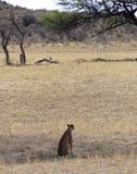 Droog rivierbed met het letten van jachtluipaard op zitting in forground royalty-vrije stock foto's