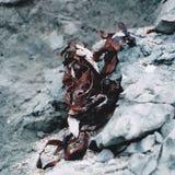 Droog rood zeewier die op de wintertalings grijze rots rusten Royalty-vrije Stock Afbeeldingen