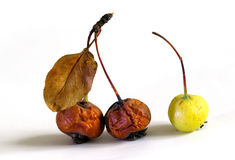 Droog ruckfruit Royalty-vrije Stock Fotografie