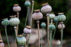 Droog shell van het papaverfruit hoofd met zaden die op weide worden gekweekt stock foto's