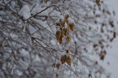Droog volkomen bevroren peulen in een boomtak Stock Afbeelding