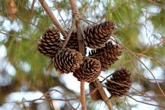 Droog volledig open bruine Denneappels of Naaldboomkegels op veelvoudige takken stock fotografie