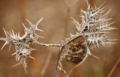 Droog wild distel en nest van wespen Stock Foto's