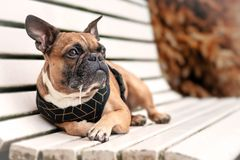 Drooling brown French Bulldog dog lying down and relaxing on a white bench