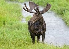Drooling Bull Moose in Northern Colorado Royalty Free Stock Image