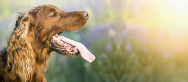 Drooling dog banner Royalty Free Stock Image
