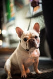 Drooling french bulldog Royalty Free Stock Photos