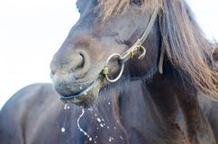 Drooling horse Royalty Free Stock Photography