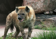 Drooling Hyena Royalty Free Stock Photo