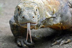 Drooling Komodo. A Komodo Dragon drools as he looks forward to lunch at the Los Angeles Zoo stock photos