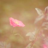 Droom in Roze Royalty-vrije Stock Foto