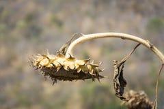 Droop солнцецвета Стоковые Фотографии RF
