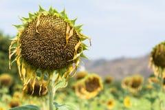 Droop солнцецвета Стоковое Фото
