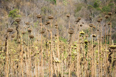Droop солнцецвета Стоковая Фотография RF
