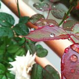 Droop. Red cold leaf fresh Stock Photography