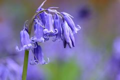 Drooping bluebell. Close up of a single bluebell flower Royalty Free Stock Photography