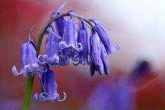 Drooping bluebell flower. Close up of a drooping bluebell flower in bloom Royalty Free Stock Photography