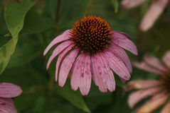 Drooping Coneflower. Purple coneflower with freckles, blooming as the sun sets Royalty Free Stock Photos