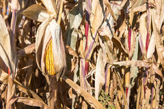 Drooping Ear of Autumn Corn Stock Photography