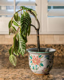 Drooping houseplant in pottery vase. Drooping house plant in kitchen showing lack of care and watering as illustration of shame, melancholy or depression Royalty Free Stock Image