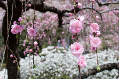 Drooping peach blossoms. Pink drooping peach blossoms in the flower bed Stock Images