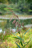 The drooping reed Royalty Free Stock Images